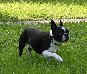 A 1.5 year-old Boston Terrier.