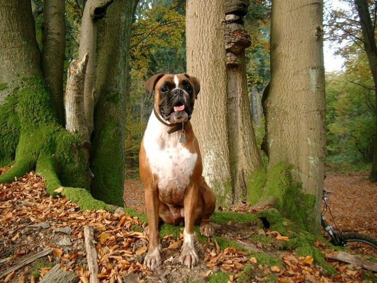 A German boxer dog