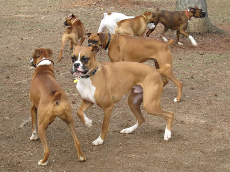 A group of Boxers playing