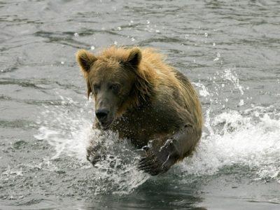 A Ursus arctos