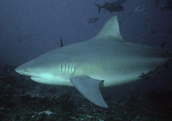 Bull shark image