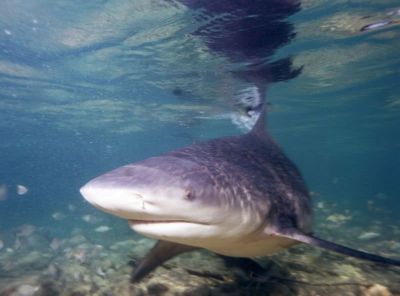 Facts about bull sharks