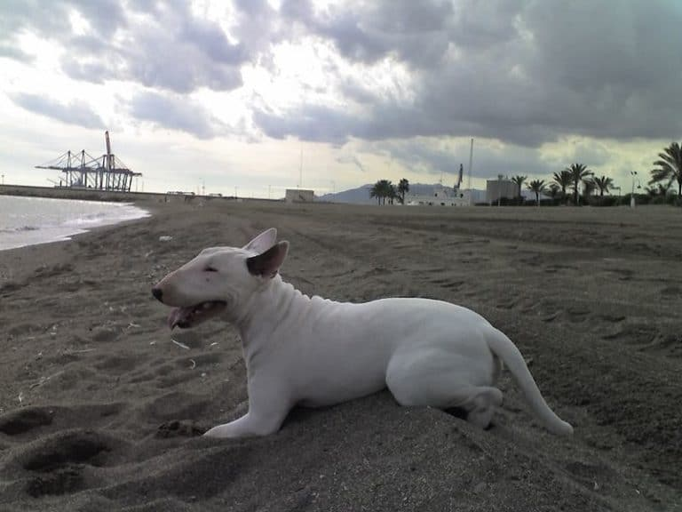 Bull terrier at the beach