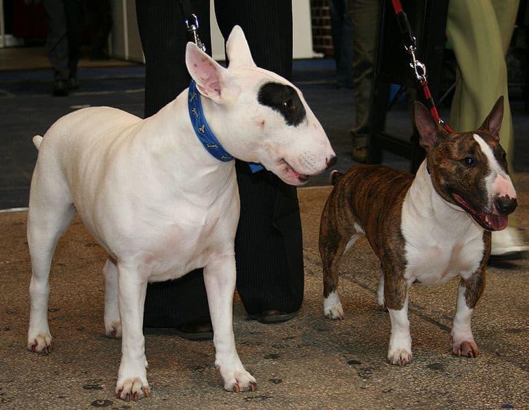 Ποια είναι τα χαρακτηριστικά του Bull Terrier;