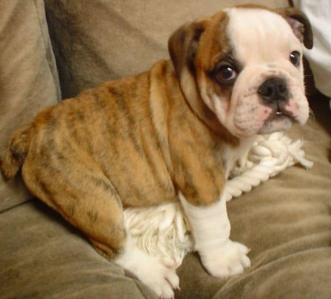 A male Bulldog puppy.