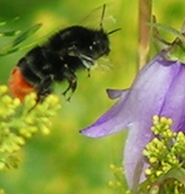 Bumble Bee going to sit on a flower