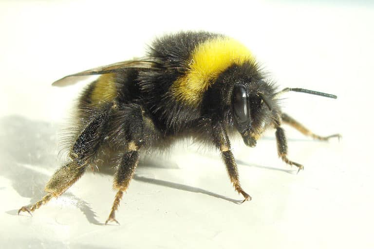 Bumble Bee on a white background