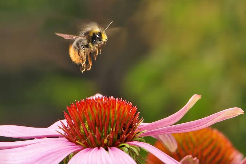 bumble bee bombus animals a z animals