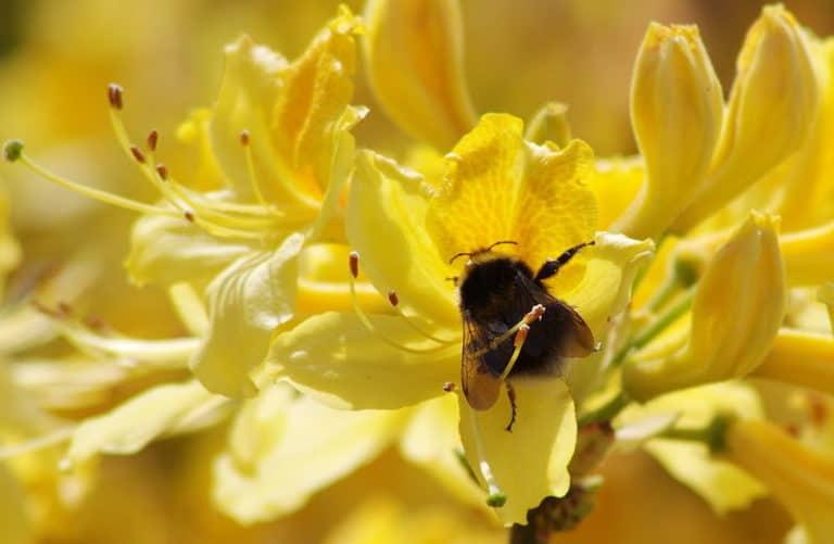 A bumblebee enjoying a flower in Wellington Park, Somerset.