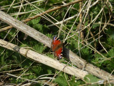 A Papilionoidea