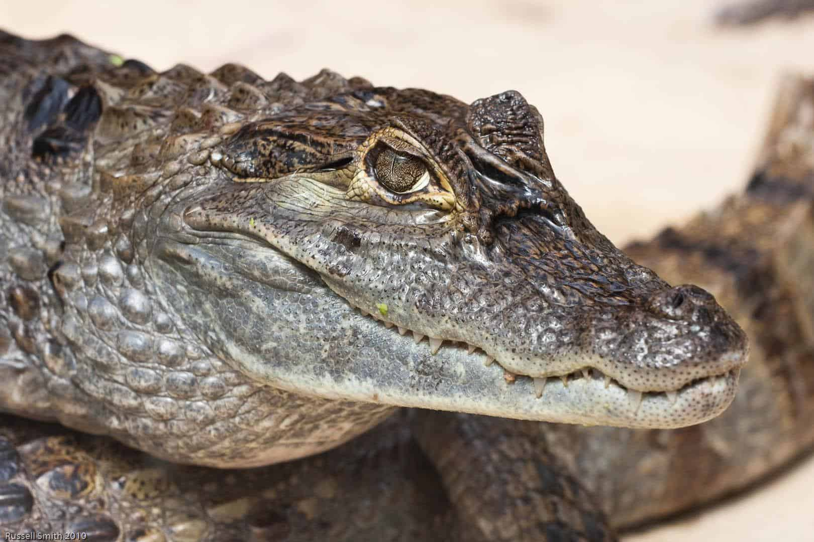 Russell And Smith >> Picture 3 of 9 - Caiman (Caiman Crocodilus, Melanosuchus Niger, Caiman Yacare, Paleosuchus ...