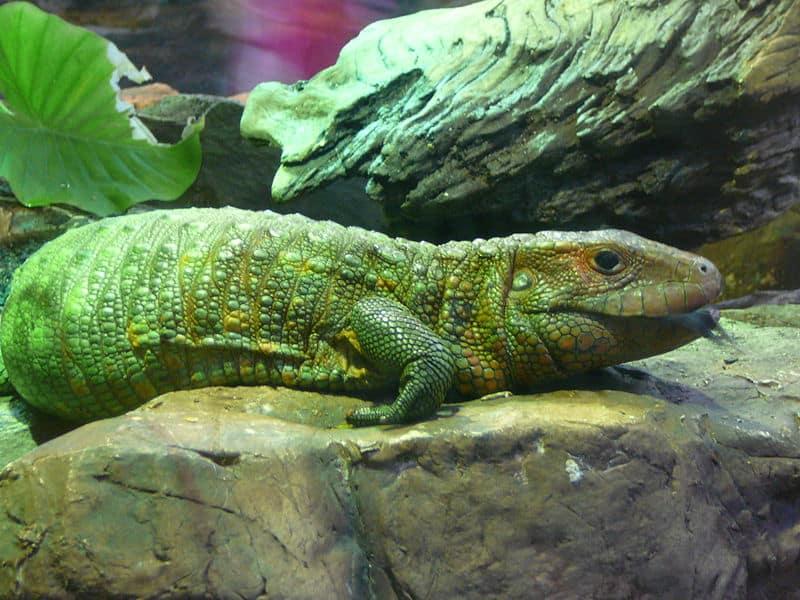 Baby Caiman Lizard   w...