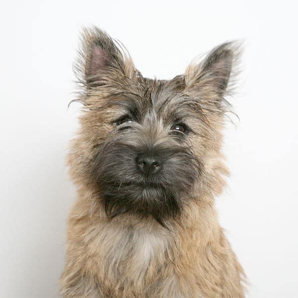 cairn terrier animals a z animals