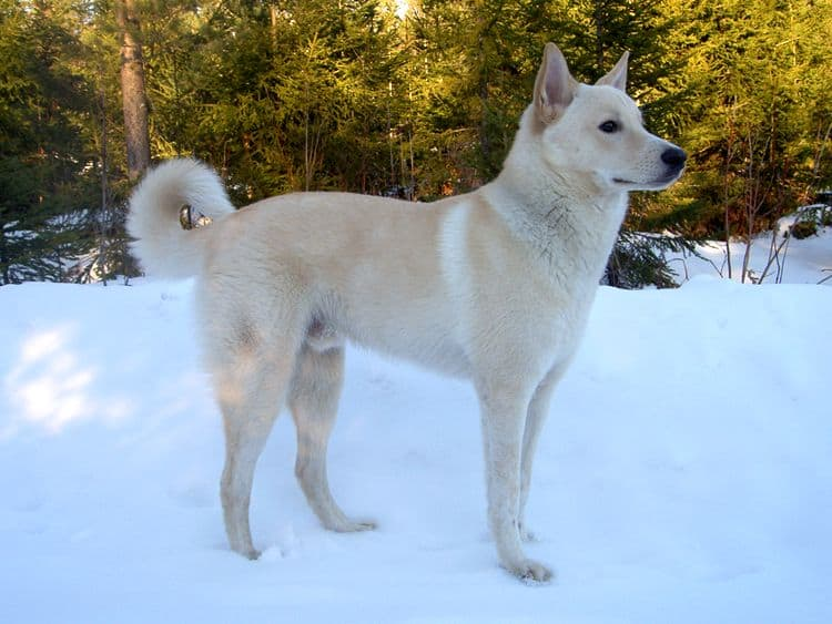 Canaan dog in snow