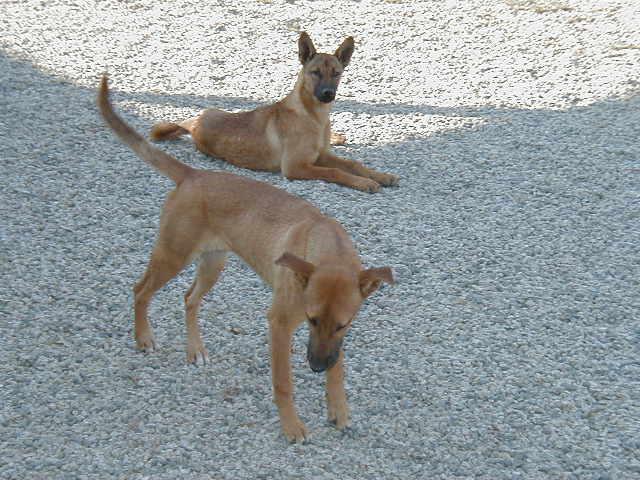 Two Carolina Dogs standing outside