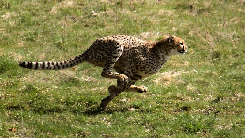 Picture 7 of 15 Cheetah Acinonyx Jubatus Pictures Images