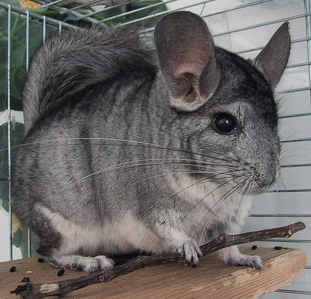 Chinchilla (Chinchilla Lanigera) - Animals - A-Z Animals