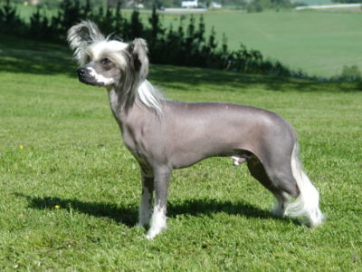A Chinese Crested Dog