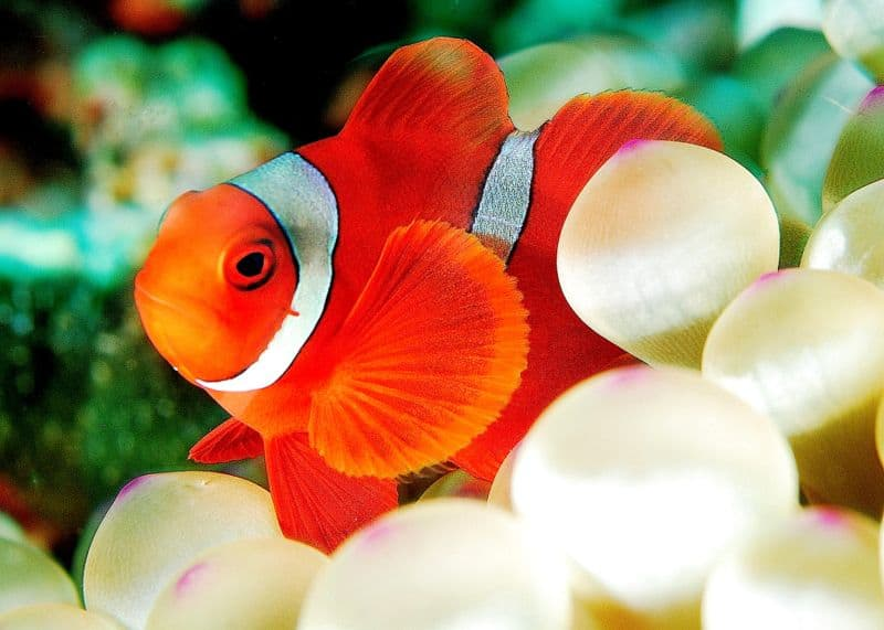 Picture 3 of 8 clown fish amphiprioninae pictures for Clown fish facts