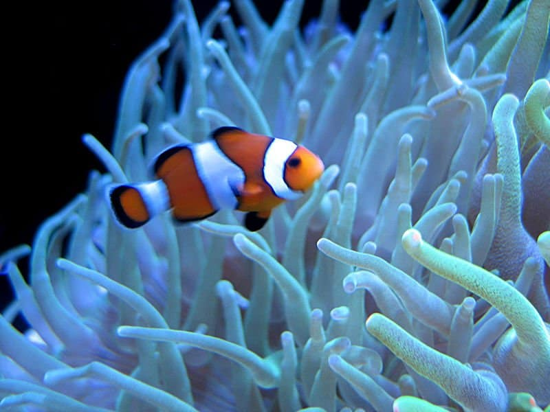 Picture 1 of 8 clown fish amphiprioninae pictures for Clown fish facts