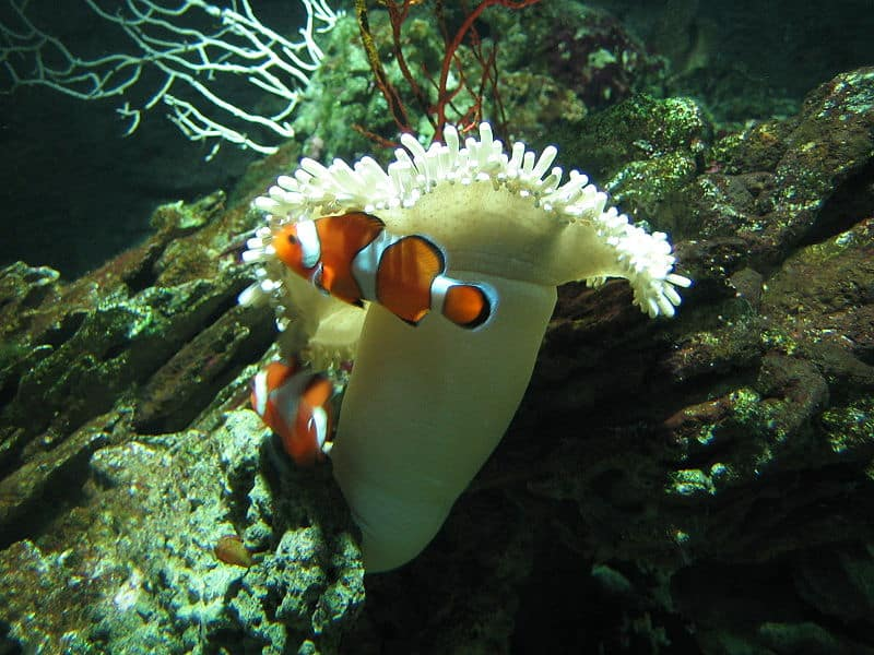 Picture 4 of 8 - Clown Fish (Amphiprioninae) Pictures & Images ...