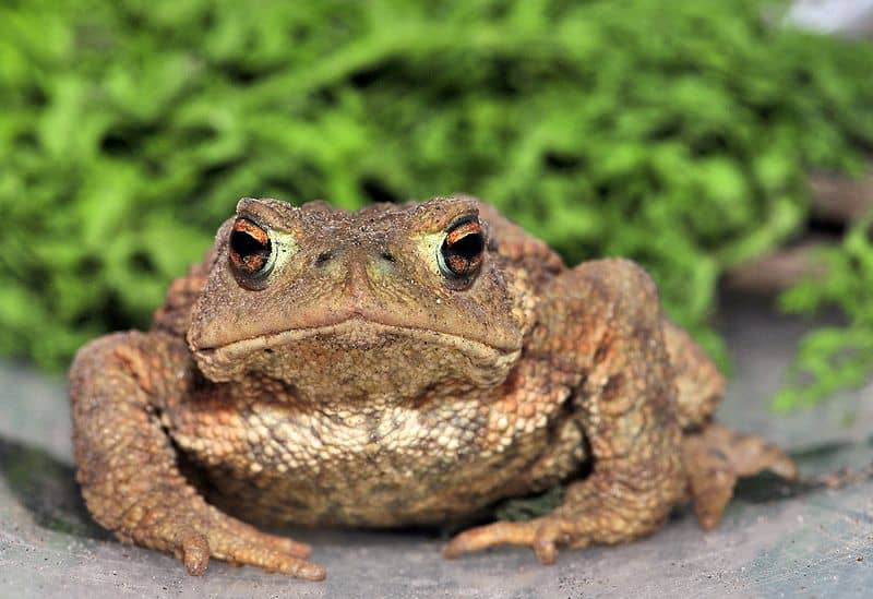 Picture 1 of 9 - Common Toad (Bufo Bufo) Pictures & Images