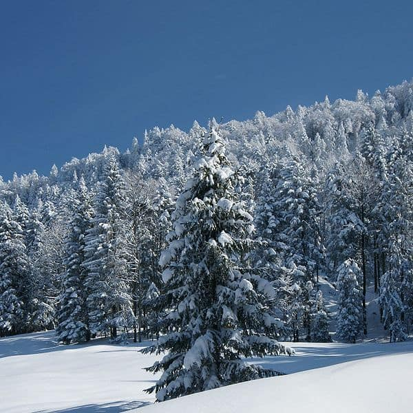 How do I write information report on conifers?