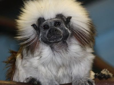 A Cotton-top Tamarin