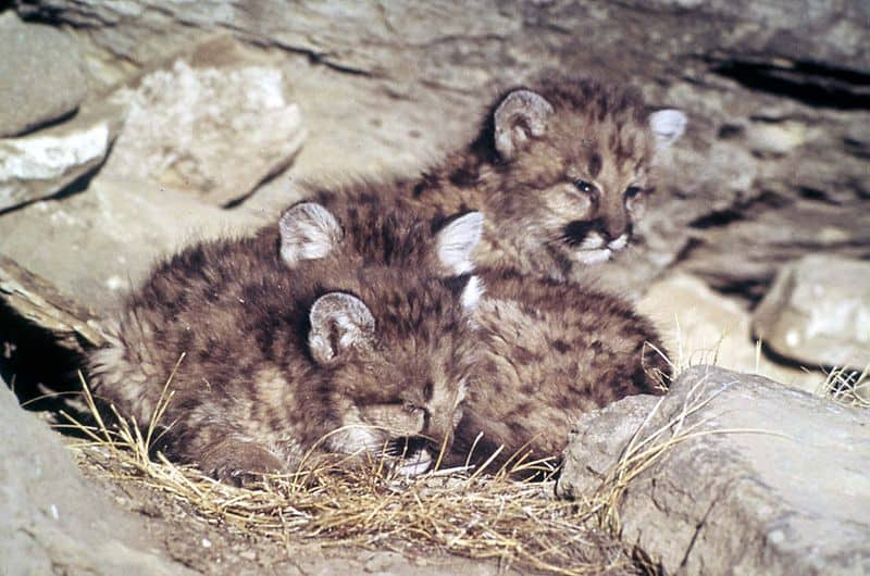 Cougar Cubs (Felis Concolor)