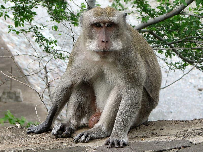 crab-eating macaque (Macaca fascicularis) adult crab-eating macaque