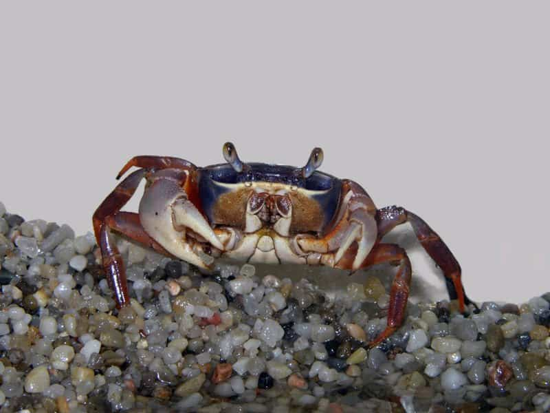 crab - Decapoda, - small crab in sand