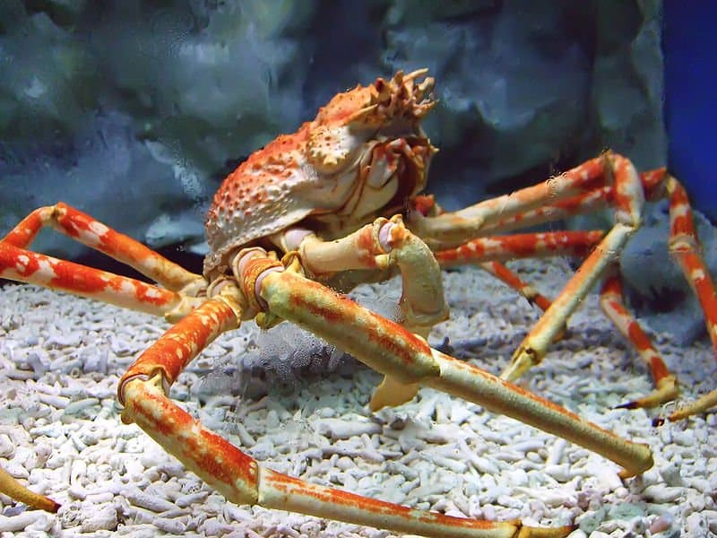 crab brachyura animals a z animals