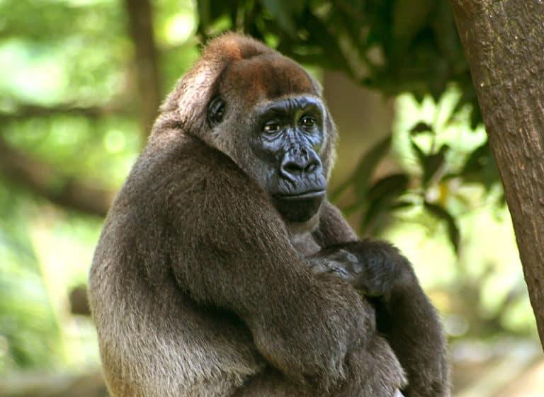 Cross River Gorilla (Gorilla gorilla diehli)