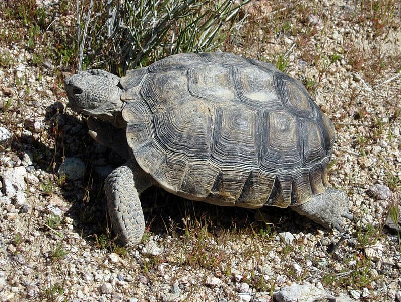 Picture 2 of 4 - Desert Tortoise (Gopherus Agassizii) Pictures