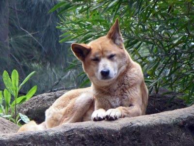 A Dingo