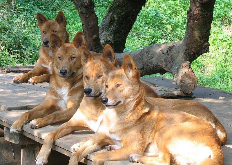dingo (Canis lupus dingo) reddish colored dingos
