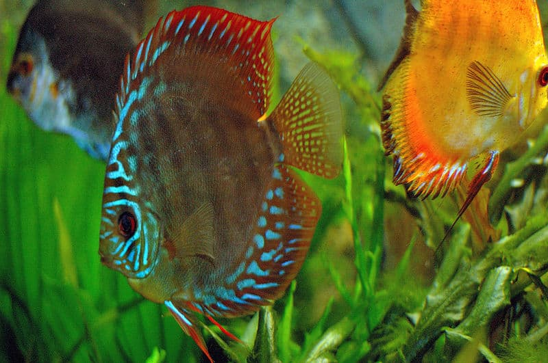 Picture 7 of 8 discus symphysodon pictures images for Keeping discus fish