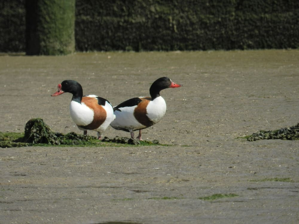 picture 1 of 9   duck anas platyrhynchos pictures