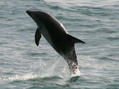 A Dusky Dolphin