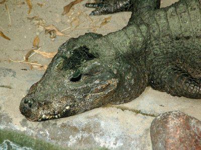 A Dwarf Crocodile