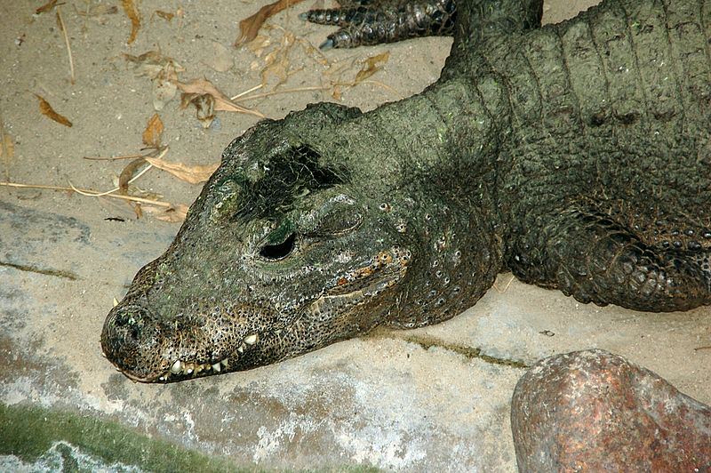 Dwarf Crocodile Classi...