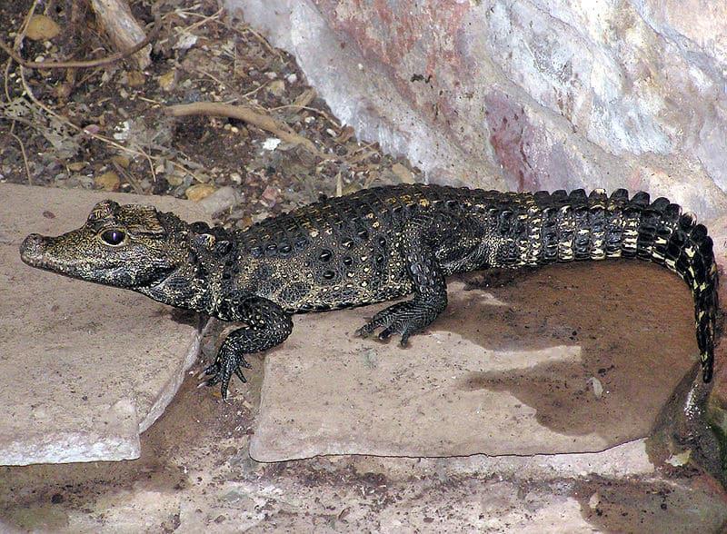 Dwarf Crocodile Osteolaemus Tetraspis Animals A Z Animals