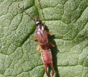 A Dermaptera