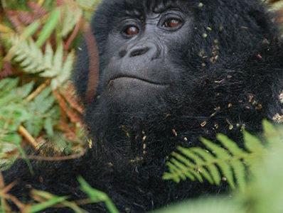 A Eastern Gorilla