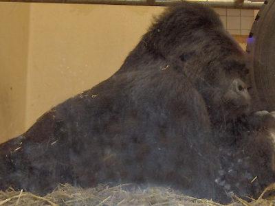 A Eastern Lowland Gorilla