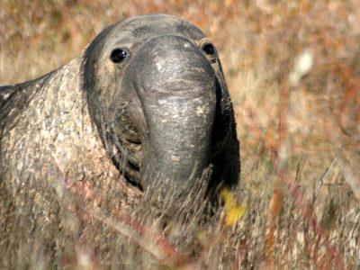 A Elephant Seal