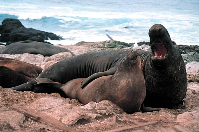 elephant seal (Mirounga angustirostris) two elephant seals