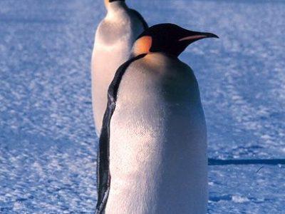 A Emperor Penguin