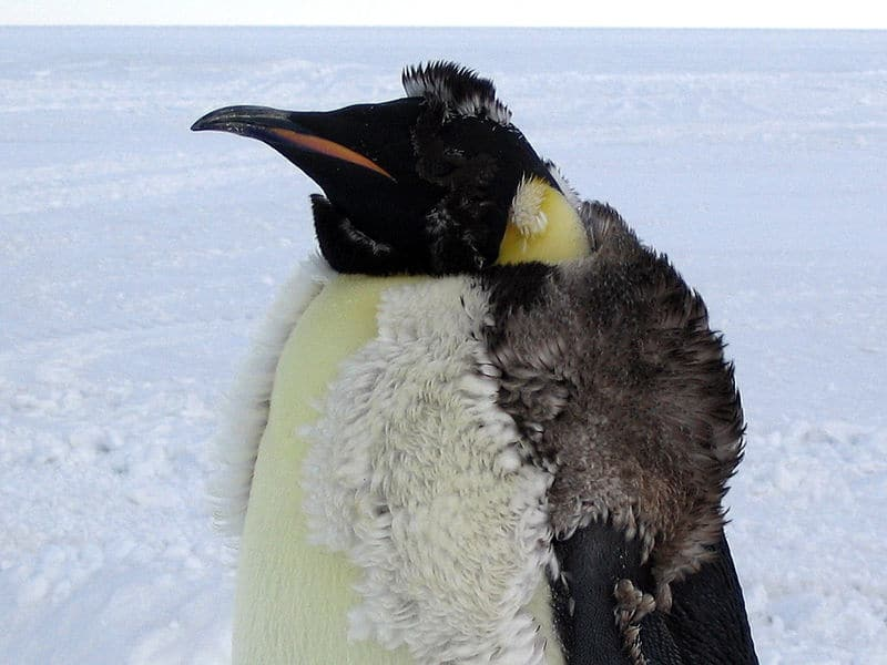 Picture 4 of 8 - Pictures and Images - Emperor Penguin ...