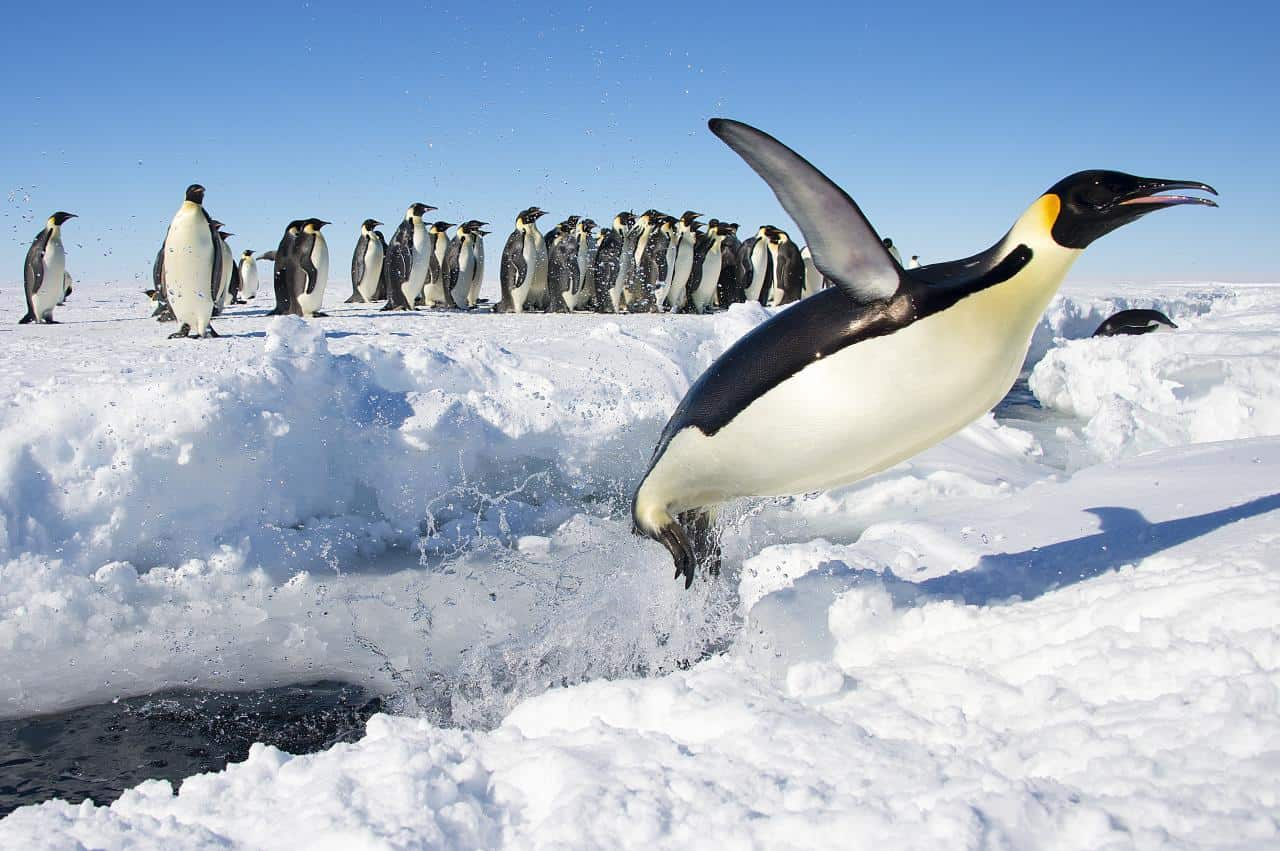 emperor penguin aptenodytes forsteri animals a z animals an emperor penguin jumping out of the water